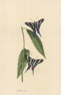 Cramer's Rhetus: Two views. Rhetus Cramerii from Bahia.