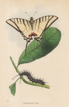 Brazilian Swallow-tail Butterfly with caterpillar: Protesilaus Leilus.