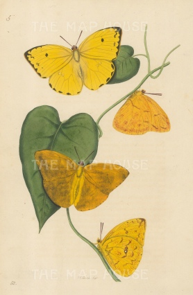 SOLD. Orange Colias Butterfly: Two views each of the male and female. Colias argante from Para.