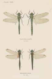 Dragonflies: Brilliant Emerald Somatochlora metallica and Northern Emerald Somatochlora arctica.