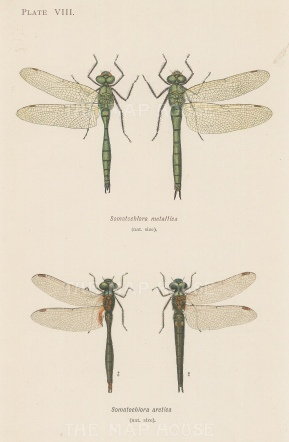 Dragonflies: Brilliant Emerald Somatochlora metallica and Northern Emerald Somatochlora arctica.
