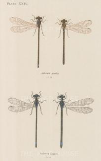 Damselflies: Scarce blue tail Ischnura pumilio and and common blue tail Ischnura elegans