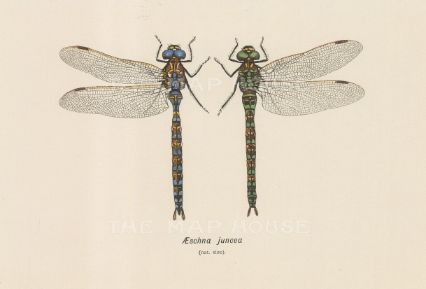 Dragonflies: Mooland Hawker dragonfly Aeschna juncea. Male and female.