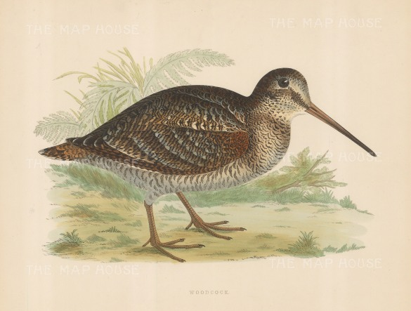 "Morris: Woodcock. 1869. An original hand coloured antique lithograph. 11"" x 10"". [FIELDp1548]"