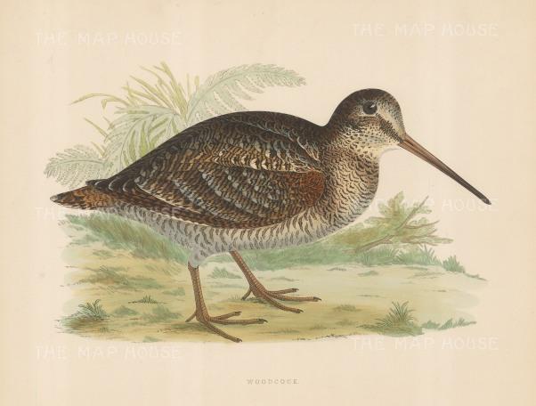 "Morris: Woodcock. 1869. An original hand coloured antique lithograph. 11"" x 10"". [FIELDp1548]"