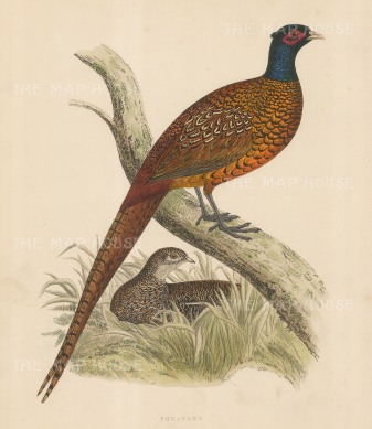 "Morris: Pheasant. 1869. An original hand coloured antique lithograph. 11"" x 10"". [FIELDp1551]"