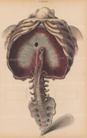 Diaphragm, Ribs and Lower Spine. Plate XXXII