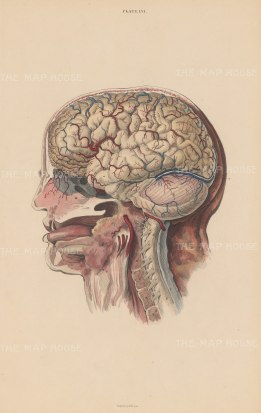 Brain: Lateral View of Brain. Cerebrum(A), Cerebellum (B) Dura mater (D,d), Spine (x) and Spinal Cord (C), nerves, arteries and throat. Plate LVI