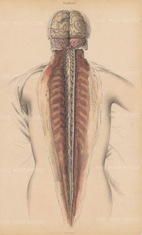 SOLD Brain and Spinal Cord Posterior view.: Cerebrum(A), Cerebellum (B) Dura mater (D,d) and Spinal Cord (C). Plate LV