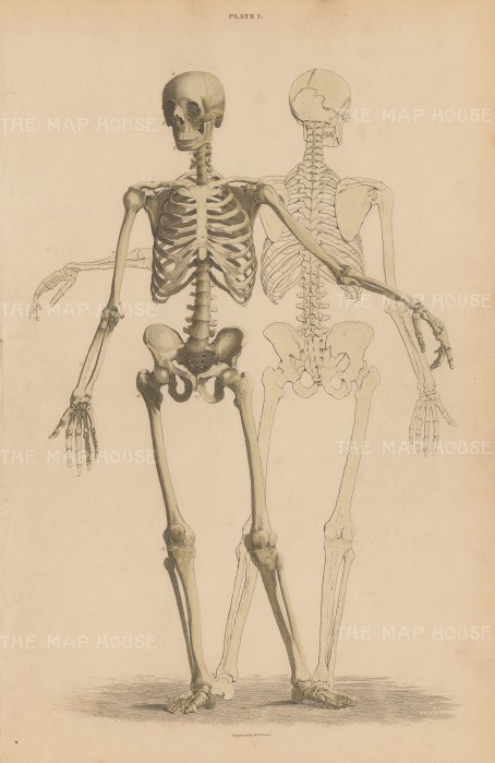 Skeleton: Anterior view with shadow of posterior view. Plate L