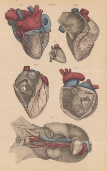 Heart: Five views of the exterior and interior of the heart and its place in the body. Plate X.