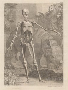 Skeleton and fourth order of muscles by Jan Wandelaar: Anterior view with Clara, the Indian Rhinoceros.