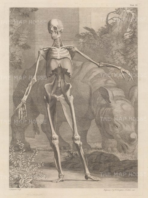 Skeleton and fourth order of muscles by Jan Wandelaar: Anterior view with Clara, the Indian Rhinoceros, a celebrity in the 18th century.