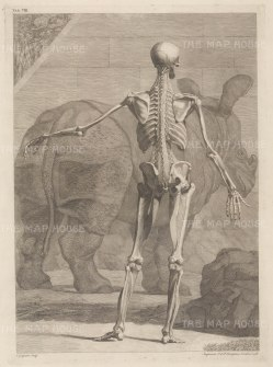 Skeleton and fourth order of muscles by Jan Wandelaar: Posterior view with Clara, the Indian Rhinoceros.