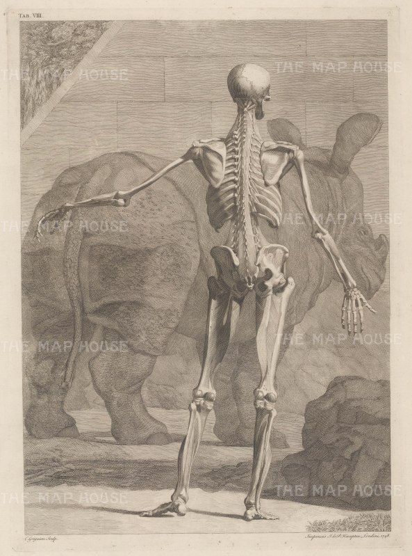 Skeleton and fourth order of muscles by Jan Wandelaar: Posterior view with Clara, the Indian Rhinoceros, a celebrity in the 18th century.
