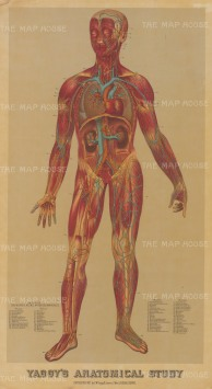 Cardiovascular and Central Nervous Systems: Educational study of a male with key to nerves, veins, arteries and muscles.