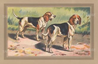 "Mahler: Beagles. c1910. An original antique chromolithograph. 10"" x 7"". [FIELDp1497]"