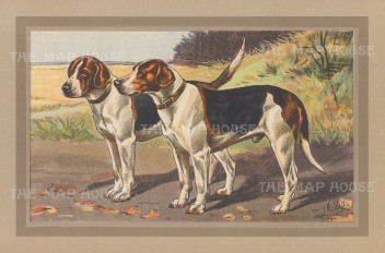 "Mahler: Foxhounds. c1910. An original antique chromolithograph. 10"" x 7"". [FIELDp1499]"