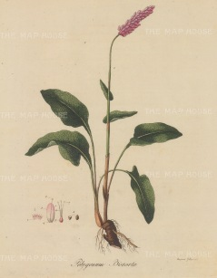 "Dreves: Polygonium bistorte. 1795. An original hand coloured antique copper engraving. 8"" x 10"". [FLORAp3211]"