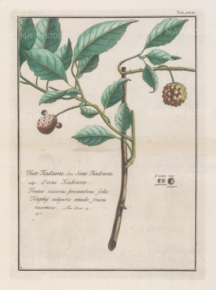 "Kaempfer: Kadsura Japonica. 1727. A hand coloured original antique copper engraving. 8"" x 12"". [FLORAp3216]"