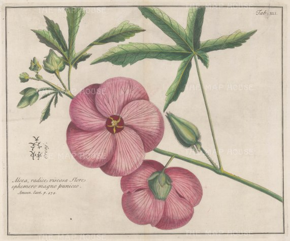 "Kaempfer: Alcea Oreny. 1727. A hand coloured original antique copper engraving. 13"" x 11"". [FLORAp3217]"