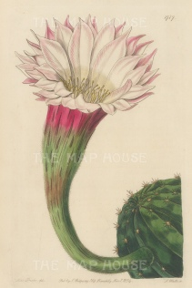 "Botanical Register: Cactus. 1834. An original hand coloured antique steel engraving. 6"" x 9"". [FLORAp3220]"