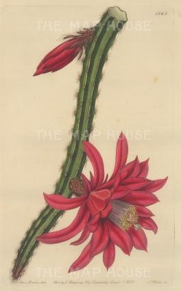 "Botanical Register: Cactus. 1834. An original hand coloured antique steel engraving. 6"" x 9"". [FLORAp3222]"