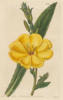 "Botanical Register: Evening Primrose. 1833. An original hand coloured antique steel engraving. 6"" x 9"". [FLORAp3225]"
