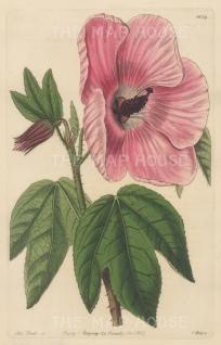 """Botanical Register: Musk Mallow. 1833. An original hand coloured antique steel engraving. 6"""" x 9"""". [FLORAp3226]"""
