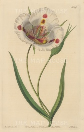 "Botanical Register: Butterfly Mariposa Lily. 1833. An original hand coloured antique steel engraving. 6"" x 9"". [FLORAp3228]"