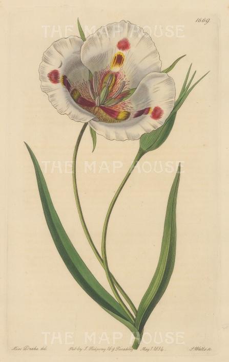 "Botanical Register: Butterfly Mariposa Lily. 1833. An original hand coloured antique steel engraving. 6"" x 9"". [FLORAp3228]"