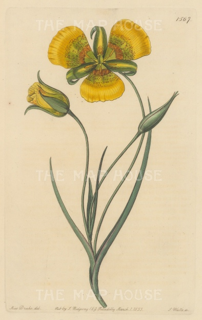 "Botanical Register: Yellow Mariposa Lily. 1833. An original hand coloured antique steel engraving. 6"" x 9"". [FLORAp3229]"