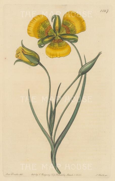 "Botanical Register: Yellow Mariposa Lily. 1833. An original hand coloured antique steel engraving. 6"" x 9"". [FLORAp3229]"