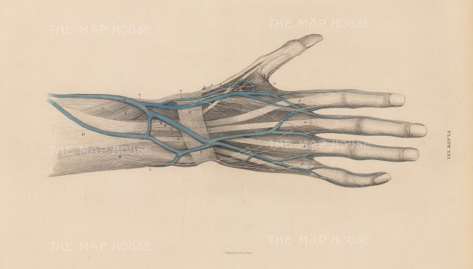 Hand and Wrist: Showing the radial artery, cephalic, basilic and median veins, and muscles of the thumb. Plate XXL.