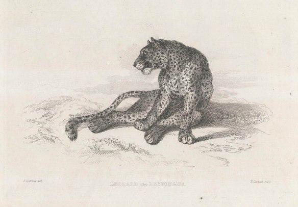 Leopard: After Johann Elias Reidinger.