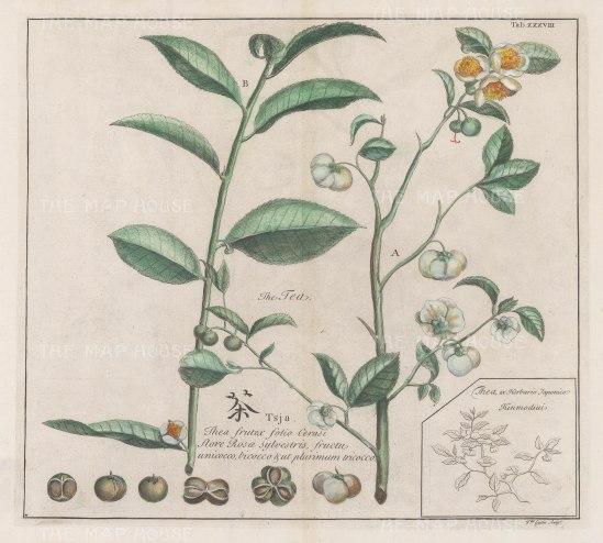 "Kaempfer: Tea. 1727. A hand coloured original antique copper engraving. 14"" x 12"". [VICTp21]"