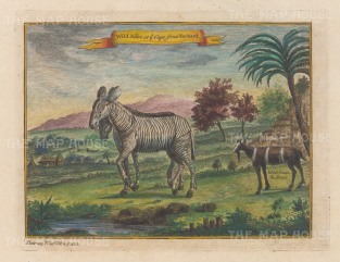 Zebra: Pair from the Cape of Good Hope after missionary Guy Tachard, with an Ibex after explorer Peter Kolben.