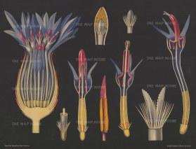 "Jung, Koch & Quentell. Blue Cornflower Anatomy. c1930. An original vintage colour print. 42"" x 31"". [FLORAp3230]"