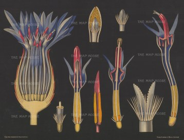 "Jung, Koch & Quentell. Blue Cornflower Anatomy. c1930. An original vintage colour print. 42"" x 31"". [FLORAp3230]"