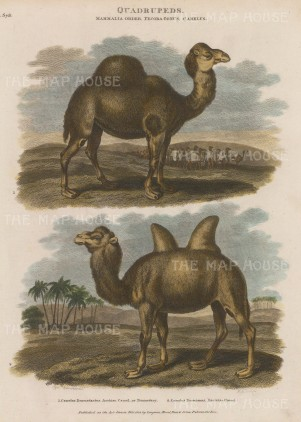 "Orme: Camels. 1808. A hand coloured original antique copper engraving. 7"" x 10"". [NATHISp6071]"