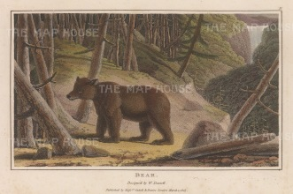 "Daniell: Brown Bear. 1807. A hand coloured original colour antique aquatint. 8"" x 5"". [NATHISp6261]"