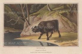 "Daniell: Water Buffalo. 1807. A hand coloured original colour antique aquatint. 8"" x 5"". [NATHISp6262]"