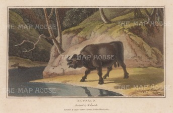 "Daniell: Water Buffalo. 1807. A hand coloured original colour antique aquatint. 8"" x 5"". [NATHISp6262]"