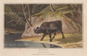 "Daniell: Water Buffalo. 1807. A hand coloured original colour antique aquatint. 7"" x 4"". [NATHISp6262]"