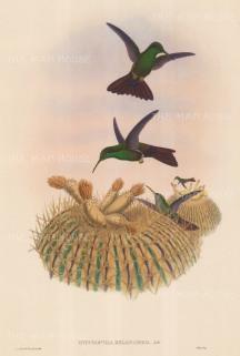 "Gould: Hummingbirds. c1850. An original hand coloured antique lithograph. 13"" x 20"". [NATHISp6645]"