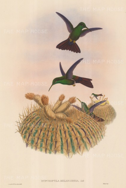 "Gould: Hummingbirds. c1850. An original hand coloured antique lithograph. 13"" x 20"". [NATHISp6645]"