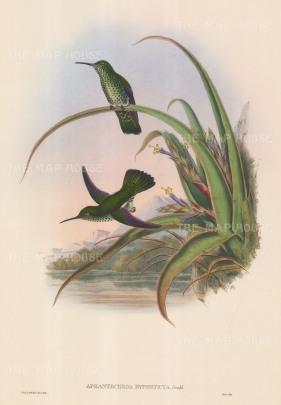 "Gould: Hummingbirds. c1850. An original hand coloured antique lithograph. 13"" x 20"". [NATHISp6646]"
