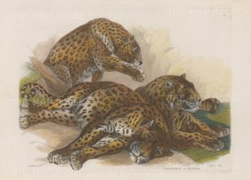 "Landseer: Leopards. c1853. A hand coloured original antique steel engraving. 10"" x 7"". [NATHISp6711]"
