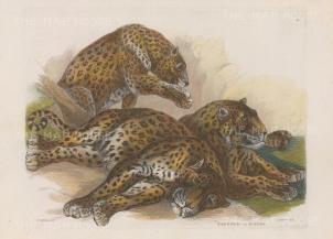 """Landseer: Leopards. c1853. A hand coloured original antique steel engraving. 10"""" x 7"""". [NATHISp6711]"""