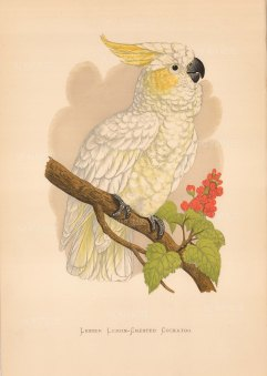 Cockatoo:Lesser Lemon-Crested Cockatoo. Indigenous to Celebes (Sulawesi) and the Lesser Sundas in the Malay Archipelago.